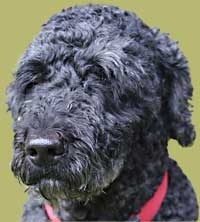 Portuguese water dog cross Poodle